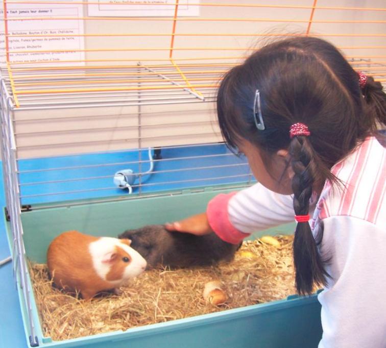 cochons d'inde dans une cage