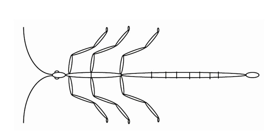 dessin d'un phasme